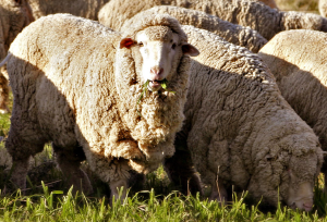 Merino sheep. Source: Wikimedia Commons