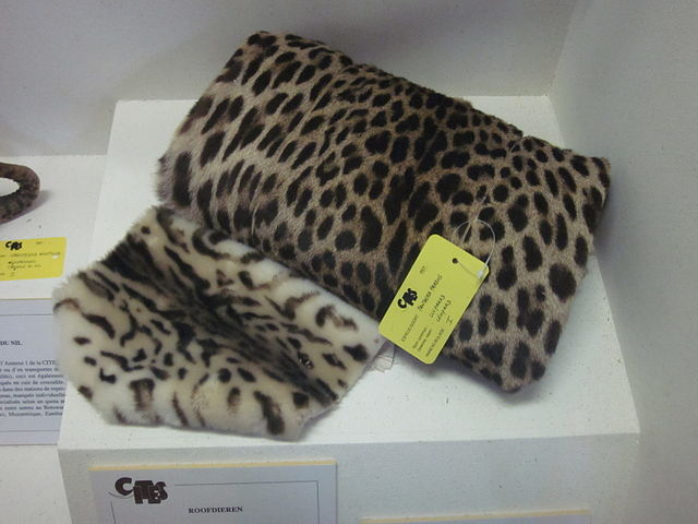 On the right, genuine leopard fur seized at Belgian customs. On lower left, lambskin which has been printed to resemble leopard. Source: Wikimedia Commons.