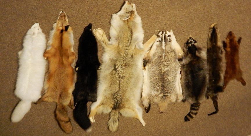 A selection of real furs. (L to R) Arctic fox, red fox, young silver fox (hence still more black than silver), coyote, badger, raccoon, otter, and martin (dyed). Source: http://munster.sasktelwebsite.net